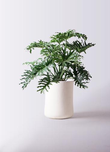 観葉植物 セローム ヒトデカズラ 8号 ボサ造り バスク ミドル ホワイト 付き