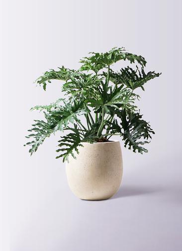 観葉植物 セローム ヒトデカズラ 8号 ボサ造り テラニアス バルーン アンティークホワイト 付き