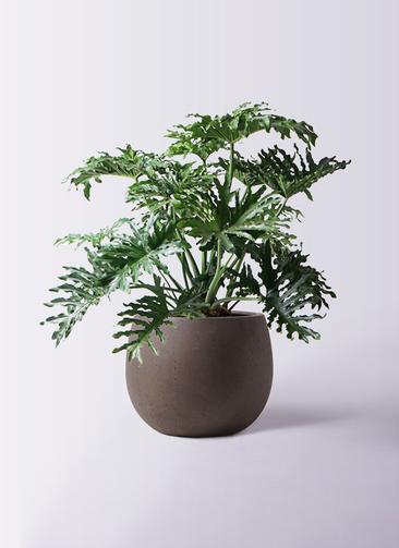 観葉植物 セローム ヒトデカズラ 8号 ボサ造り テラニアス ローバルーン アンティークブラウン 付き