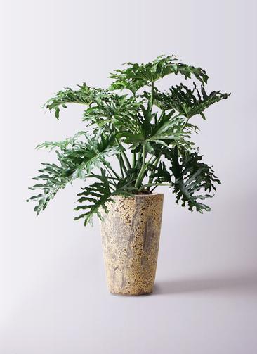 観葉植物 セローム ヒトデカズラ 8号 ボサ造り アトランティス クルーシブル 付き