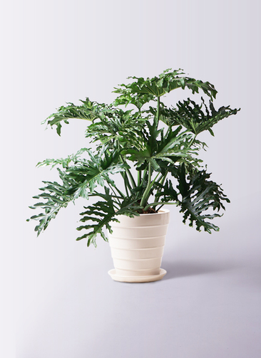 観葉植物 セローム ヒトデカズラ 8号 ボサ造り サバトリア 白 付き