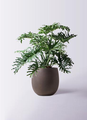 観葉植物 セローム ヒトデカズラ 8号 ボサ造り テラニアス バルーン アンティークブラウン 付き