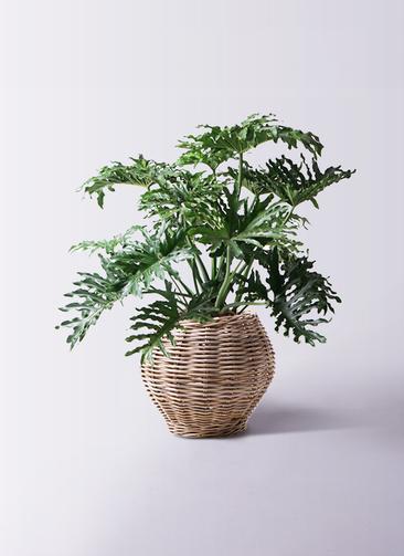 観葉植物 セローム ヒトデカズラ 8号 ボサ造り グレイラタン 付き