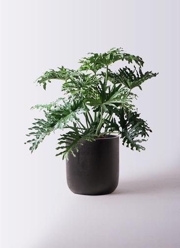 観葉植物 セローム ヒトデカズラ 8号 ボサ造り エルバ 黒 付き