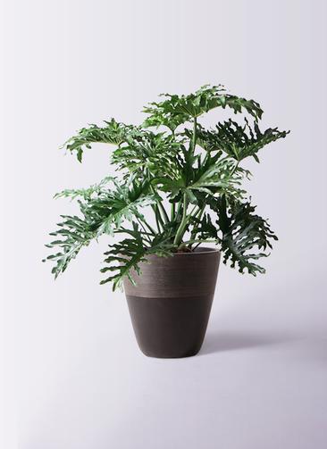 観葉植物 セローム ヒトデカズラ 8号 ボサ造り ジュピター 黒 付き