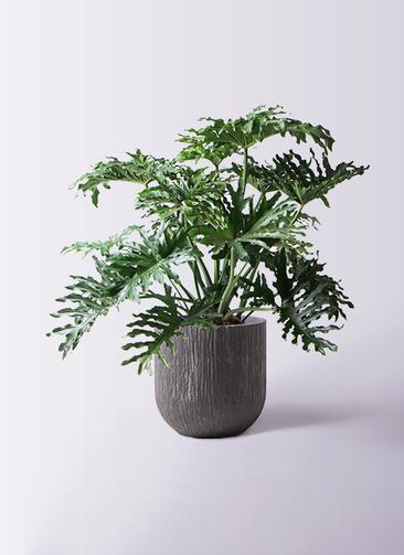 観葉植物 セローム ヒトデカズラ 8号 ボサ造り カルディナダークグレイ 付き
