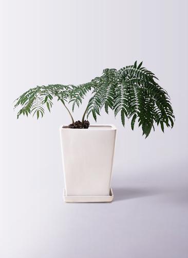 観葉植物 リュウビンタイ 8号 LO スクエア 付き