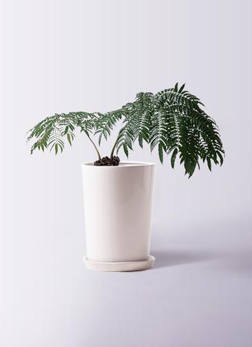 観葉植物 リュウビンタイ 8号 LO ラウンド 付き