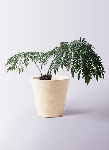 観葉植物 リュウビンタイ 8号 フォリオソリッド クリーム 付き