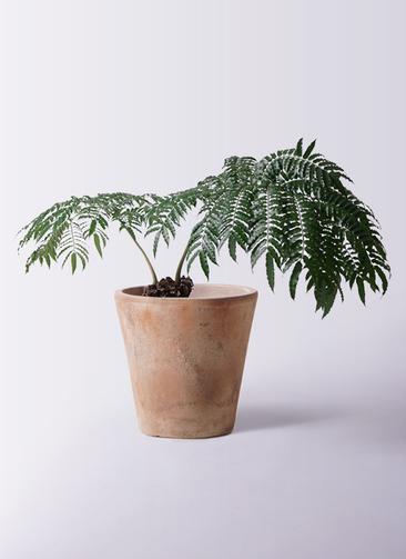 観葉植物 リュウビンタイ 8号 ルーガ アンティコ ソリッド 付き