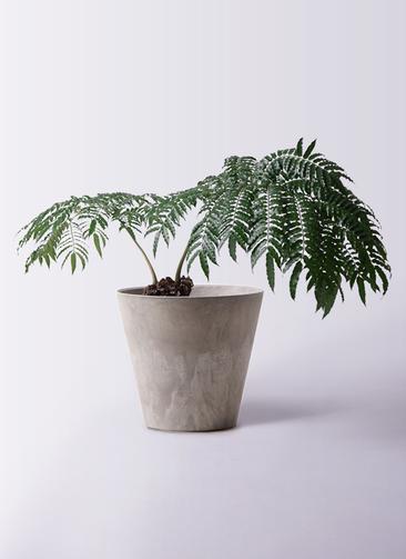 観葉植物 リュウビンタイ 8号 アートストーン ラウンド グレー 付き
