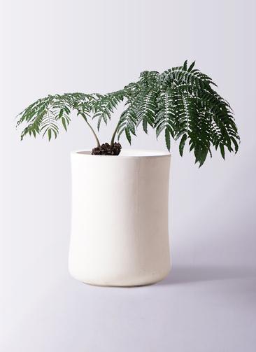 観葉植物 リュウビンタイ 8号 バスク ミドル ホワイト 付き