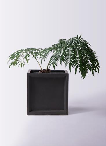 観葉植物 リュウビンタイ 8号 ブリティッシュキューブ 付き