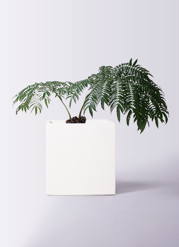 観葉植物 リュウビンタイ 8号 バスク キューブ 付き