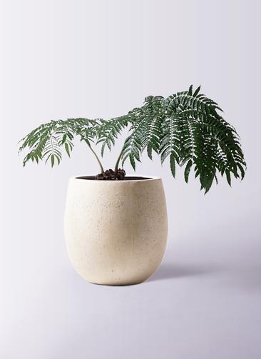 観葉植物 リュウビンタイ 8号 テラニアス バルーン アンティークホワイト 付き