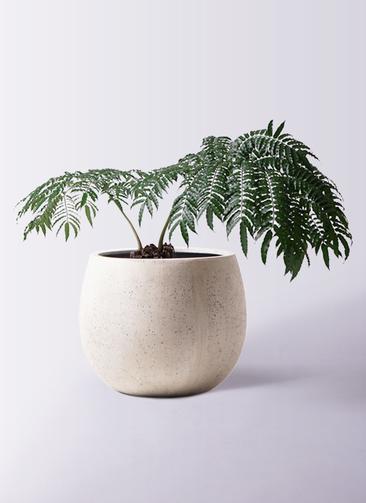 観葉植物 リュウビンタイ 8号 テラニアス ローバルーン アンティークホワイト 付き