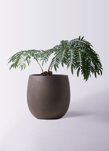 観葉植物 リュウビンタイ 8号 テラニアス バルーン アンティークブラウン 付き