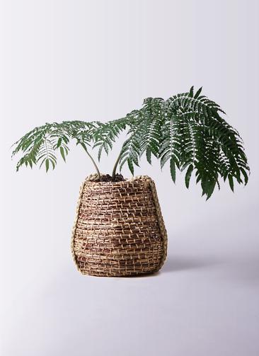 観葉植物 リュウビンタイ 8号 リゲル 茶 付き