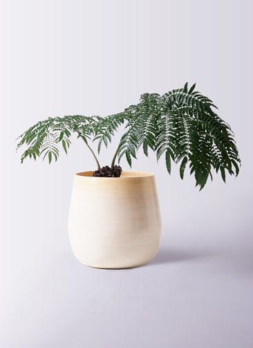 観葉植物 リュウビンタイ 8号 ササール 白 付き
