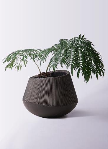 観葉植物 リュウビンタイ 8号 エディラウンド 黒 付き