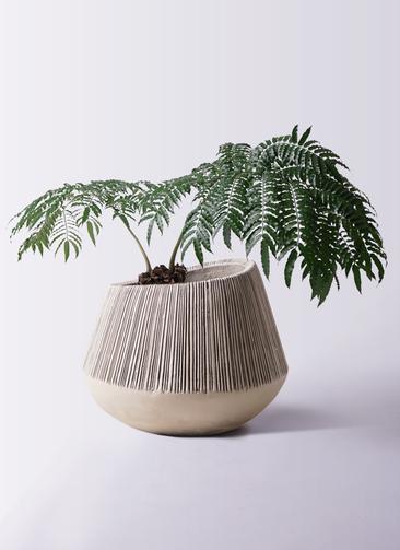 観葉植物 リュウビンタイ 8号 エディラウンド グレイ 付き