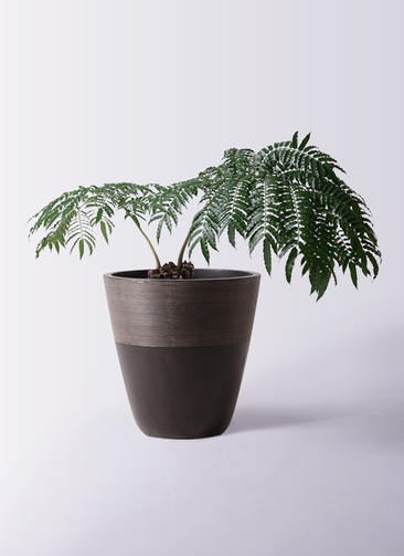 観葉植物 リュウビンタイ 8号 ジュピター 黒 付き