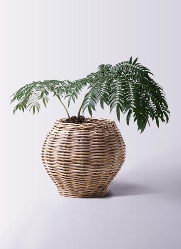 観葉植物 リュウビンタイ 8号 グレイラタン 付き