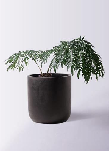 観葉植物 リュウビンタイ 8号 エルバ 黒 付き