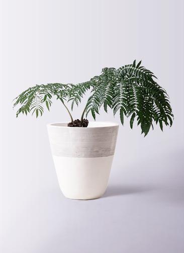 観葉植物 リュウビンタイ 8号 ジュピター 白 付き