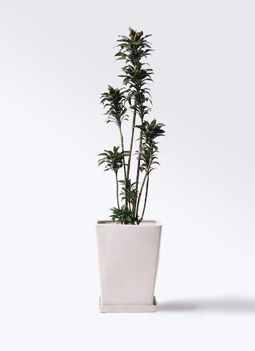観葉植物 ドラセナ パープルコンパクタ 8号 LO スクエア 付き