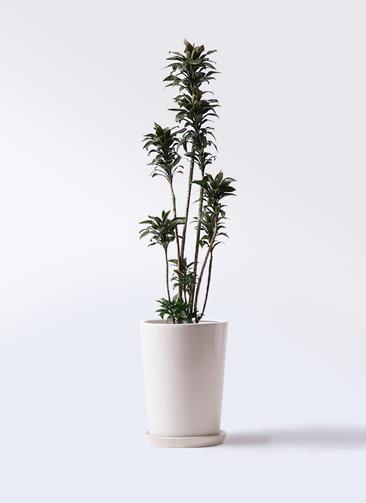 観葉植物 ドラセナ パープルコンパクタ 8号 LO ラウンド 付き