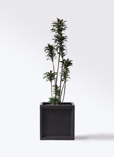 観葉植物 ドラセナ パープルコンパクタ 8号 ブリティッシュキューブ 付き
