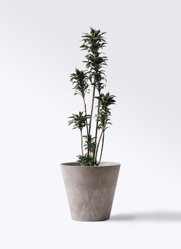 観葉植物 ドラセナ パープルコンパクタ 8号 アートストーン ラウンド グレー 付き