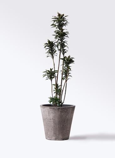 観葉植物 ドラセナ パープルコンパクタ 8号 フォリオソリッド ブラックウォッシュ 付き