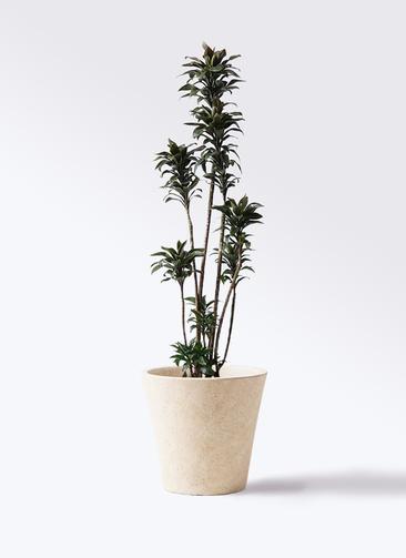 観葉植物 ドラセナ パープルコンパクタ 8号 フォリオソリッド クリーム 付き