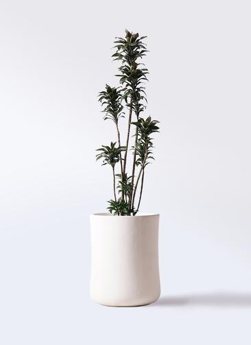 観葉植物 ドラセナ パープルコンパクタ 8号 バスク ミドル ホワイト 付き