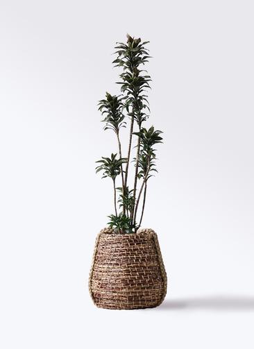 観葉植物 ドラセナ パープルコンパクタ 8号 リゲル 茶 付き