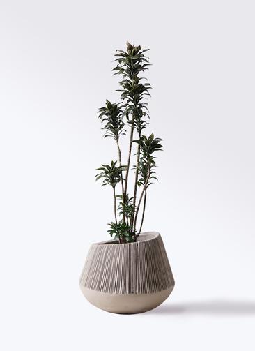 観葉植物 ドラセナ パープルコンパクタ 8号 エディラウンド グレイ 付き