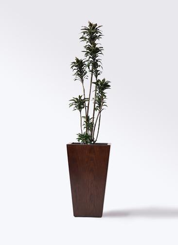 観葉植物 ドラセナ パープルコンパクタ 8号 MOKU スクエア 付き