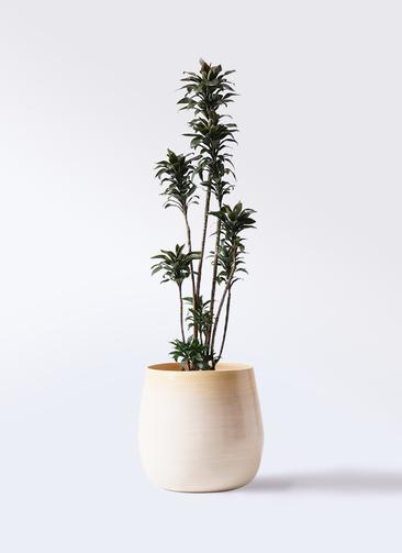 観葉植物 ドラセナ パープルコンパクタ 8号 ササール 白 付き