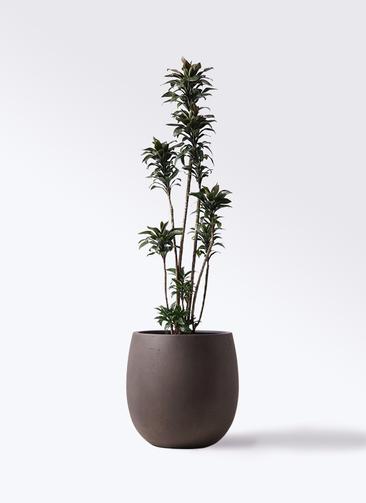 観葉植物 ドラセナ パープルコンパクタ 8号 テラニアス バルーン アンティークブラウン 付き