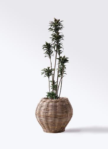 観葉植物 ドラセナ パープルコンパクタ 8号 グレイラタン 付き