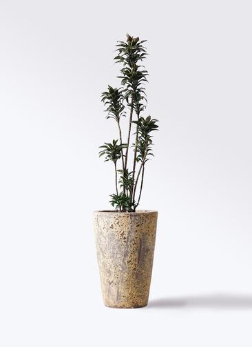 観葉植物 ドラセナ パープルコンパクタ 8号 アトランティス クルーシブル 付き