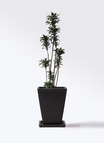 観葉植物 ドラセナ パープルコンパクタ 8号 パウダーストーン 黒 付き