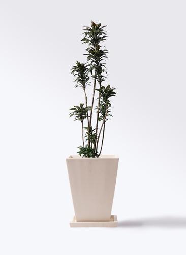 観葉植物 ドラセナ パープルコンパクタ 8号 パウダーストーン 白 付き