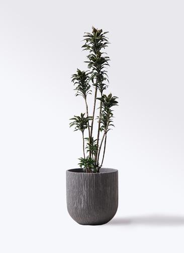 観葉植物 ドラセナ パープルコンパクタ 8号 カルディナダークグレイ 付き