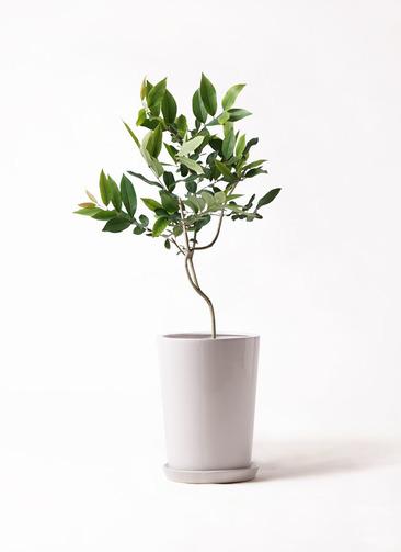 観葉植物 アマゾンオリーブ (ムラサキフトモモ) 8号 LO ラウンド 付き