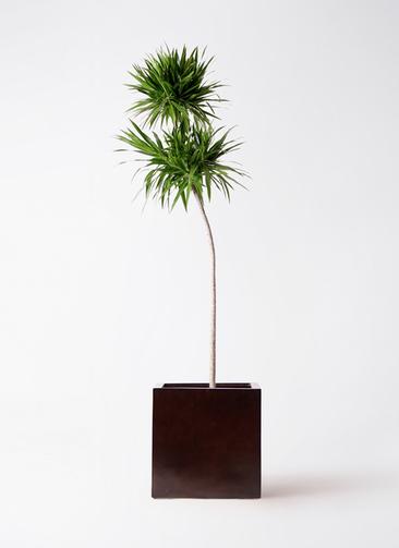 観葉植物 ドラセナ ナビー 10号 ストレート MOKU キューブ 付き