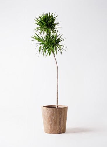 観葉植物 ドラセナ ナビー 10号 ストレート ウッドプランター 付き