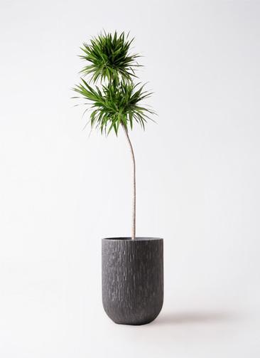 観葉植物 ドラセナ ナビー 10号 ストレート カルディナトールダークグレイ 付き